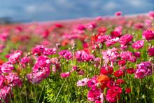 Pink Flowers In The Flower Fie...