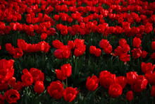 Red Tulips In A Field In Washi...