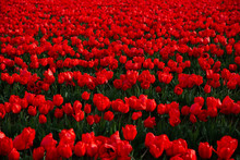 Field Of Red Tulips In Washing...
