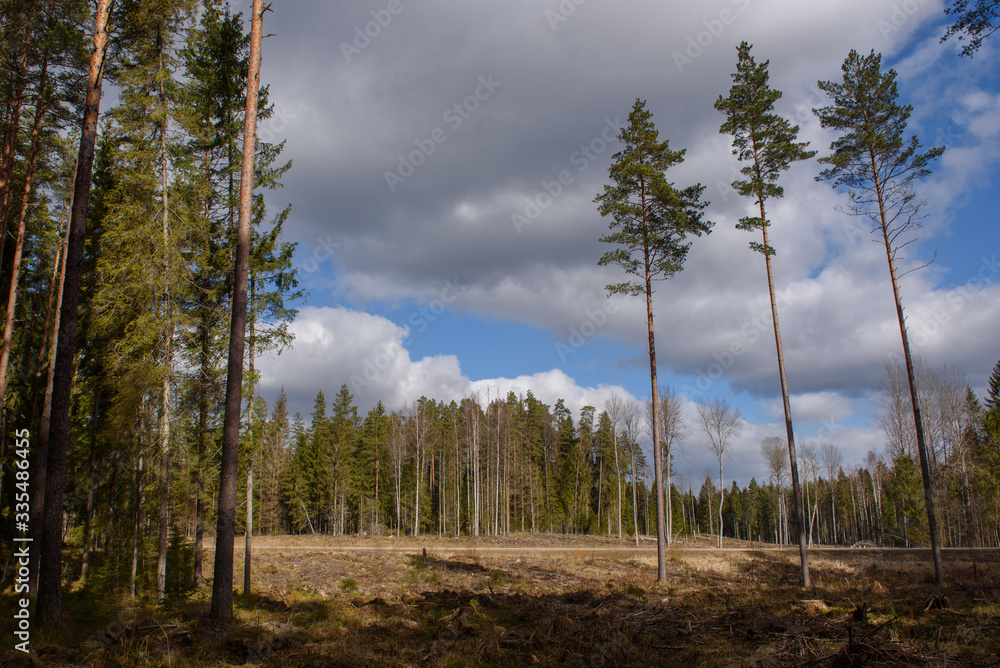 Fototapeta Deforestation. Forestry industry theme. Landscape of pine tree forest. - obraz na płótnie