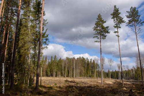 Fototapeta Deforestation. Forestry industry theme. Landscape of pine tree forest. obraz na płótnie