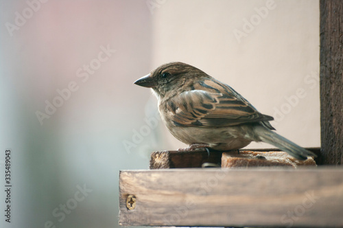 Fotografie, Obraz Female sparrow sit in bird house. Wild life animal. close up.