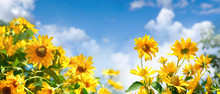 Bright Decorative Orange Flowers Of Jerusalem Artichoke Against Blue Sky With Cloud In Spring Or Warm Summer On Nature. Panoramic Landscape, Beautiful Artistic Image For Floriculture Or Gardening.
