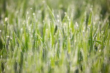 Bright Green Grass Blades Are ...