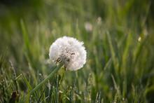 Beautiful Round Dandelion Seed...