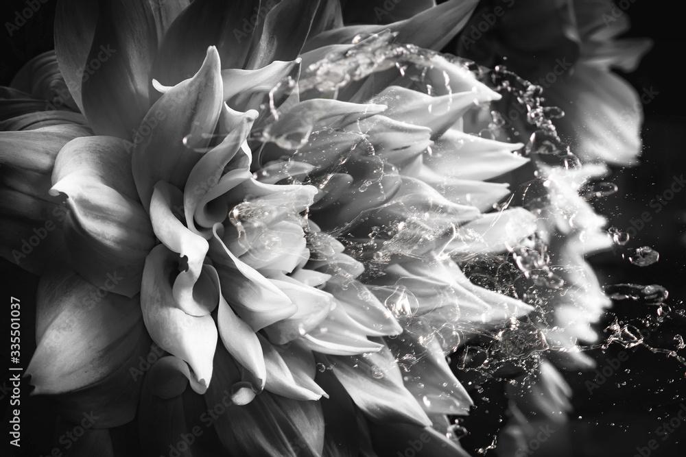 Fototapeta Makro Blüte Dahlie mit Wasserspritzer in schwarz-weiss