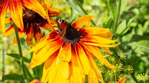 Fotografia, Obraz Large black-eyed Susan rudbeckia flower with butterfly, natural garden flower close-up