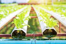 Hydroponic Vegetable Farm. Hyd...