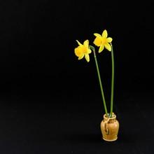 Frühjahrsgruß - Zwei Gelbe N...