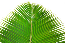 The Palm Leaf
