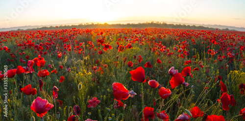 Fototapeta field with red poppy at the early morning obraz na płótnie