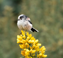 Long Tailed Tit  On Gorse Flower