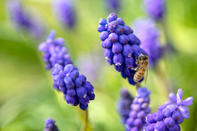 Wild Bee Foraging On Grape Hyacinth, In Spring. Close Up With Bokeh.