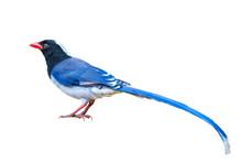Red-billed Blue Magpie On Whit...