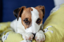 Tired And Lazy Jack Russell Terrier Dog Falls Asleep, Lying On Sofa, Relaxing At Home, Closeup. Dog Waiting For Owner On Home. Dog Pet On Couch In Living Room, Looking Sad Bored Lonely Sick Exhausted.