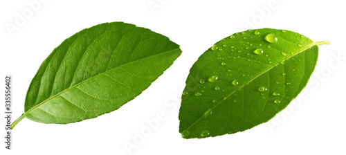 Fototapety, obrazy: Citrus Lemon leaf with drops isolated on white background