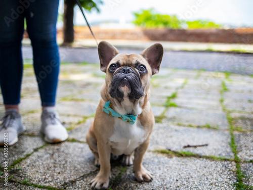 Fototapeta french bulldog puppy obraz