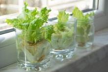 Growing Lettuce In Water From Scraps In Kitchen And On A Window Sill