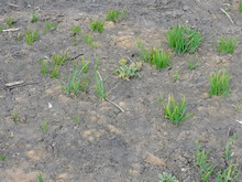 Dry Cracked Earth And Green Sprouts That Climb Out Of The Ground