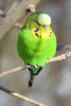Green Budgie (Wellensittich, M...