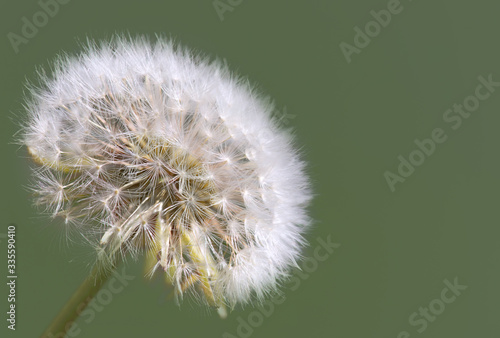 Fototapety, obrazy: Closeup of dandelion taraxacum flower white seeds in green background