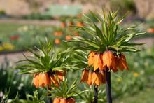 Orange Crown Imperial Lilies, ...