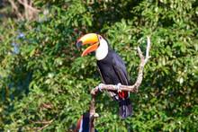 Toucan In Argentine Jungle Nea...