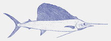 Indo-pacific Sailfish, Istiophorus Platypterus, A Fish From The Tropical Oceans In Side View