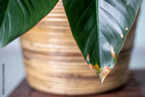 Obraz na plátně Yellowing spots on leaves on houseplant