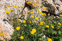 Spring Flowering Leontodon His...