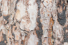 The Texture Of The Bark Of A P...
