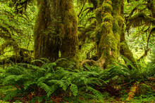 Moss Covered Trees In A Rain F...