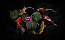 Koi Fish Pond With Lotus Flowers