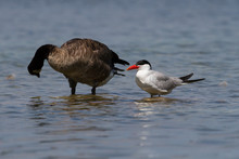 Caspian Tern Standing On A Rock In Shallow Water Next To A Canada Goose.