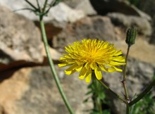 Beautiful Yellow Flower Of Mediterranean Sow Thistle With The Rocks In The Background In Malta