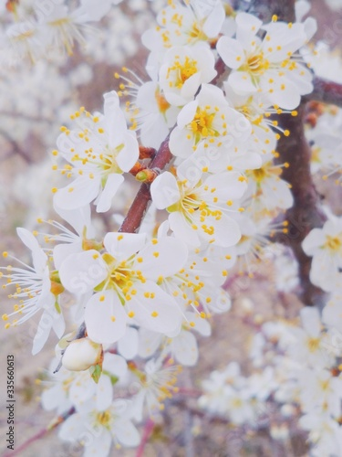 cherry tree blossom #335660613