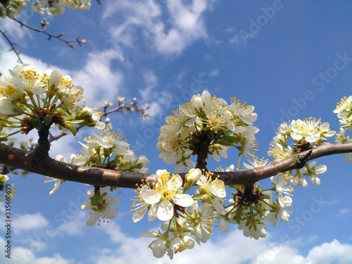 apple tree blossom #335660699