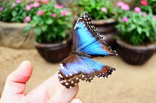 Large Blue Butterfly Sitting O...