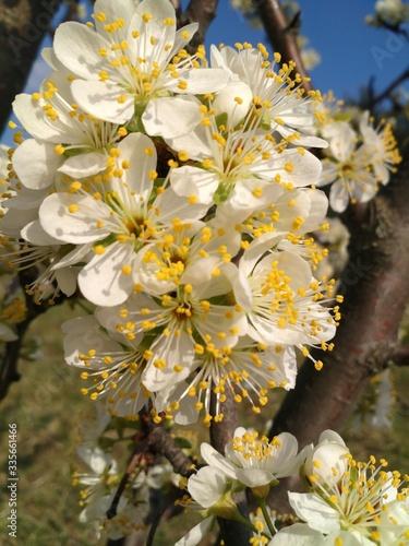 apple tree blossom #335661466
