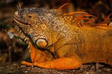 Salvajes Reptiles Coloridos En...