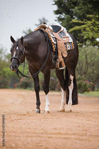 Fototapeta Western Pleasure Horse obraz