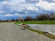 Canada Goose Standing On The Edge Of A Levee In Sacramento