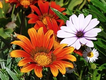 Orange And Yellow Sunflowers And White And Purple Daises In The Garden Surrounded By Lush Green Leaves