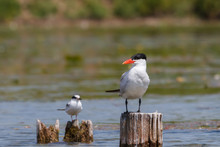 Caspian Tern And Common Tern Perched Side By Side On Wooden Bridge Pilings.