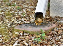 Gutter Drain Spout Is Clogged With Leaflets From The Oak Tree Creating A Hazard