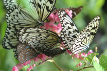 Butterflies Feasting On Pink F...