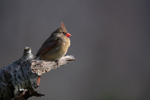 Female Northern Cardinal Perch...