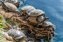 A Group Of Turtles Gather To S...
