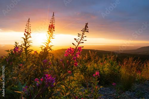 Photo fireweed