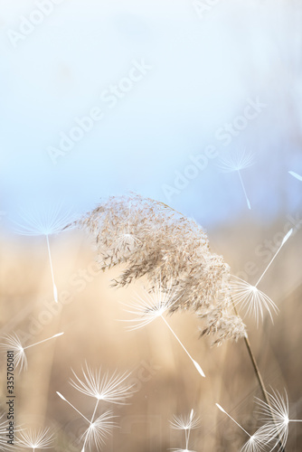 Reed and dandelion fluff on windy day Wallpaper Mural
